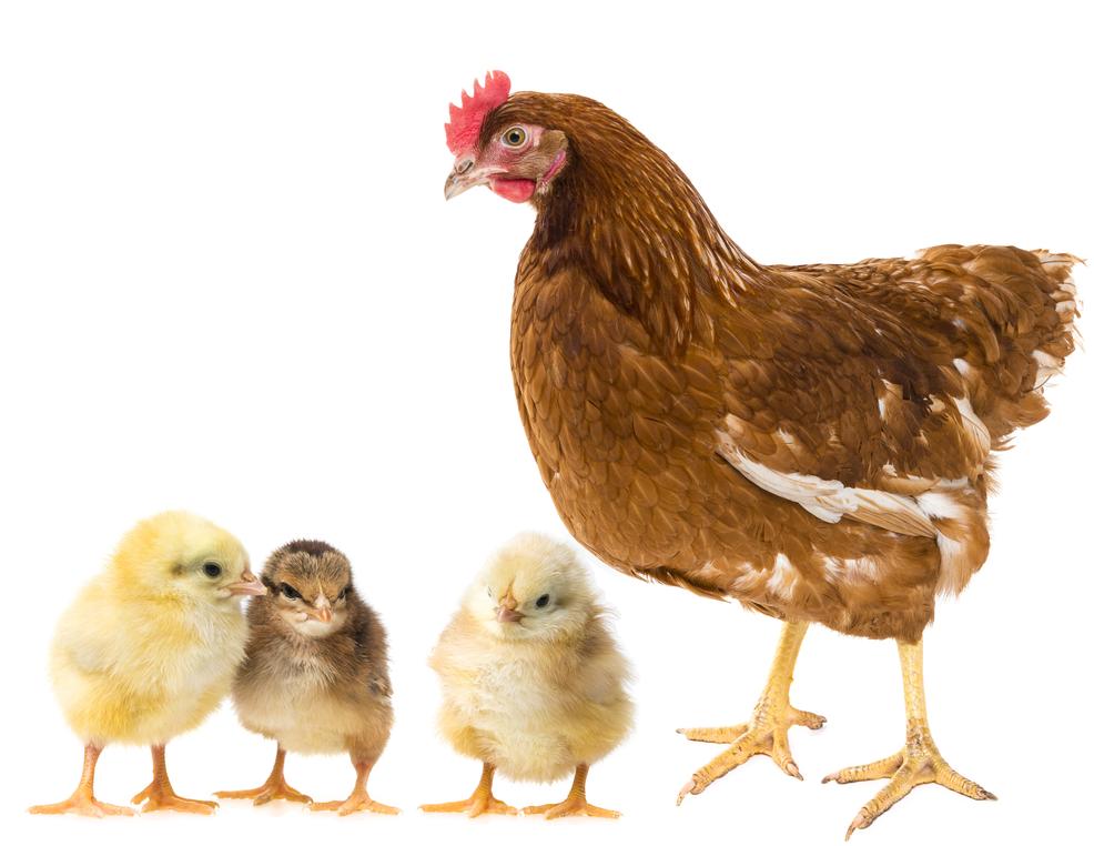allevamento-pulcini-avicolatf-crotone